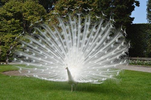 Безкоштовне стокове фото на тему «aves, blanco, pavo»