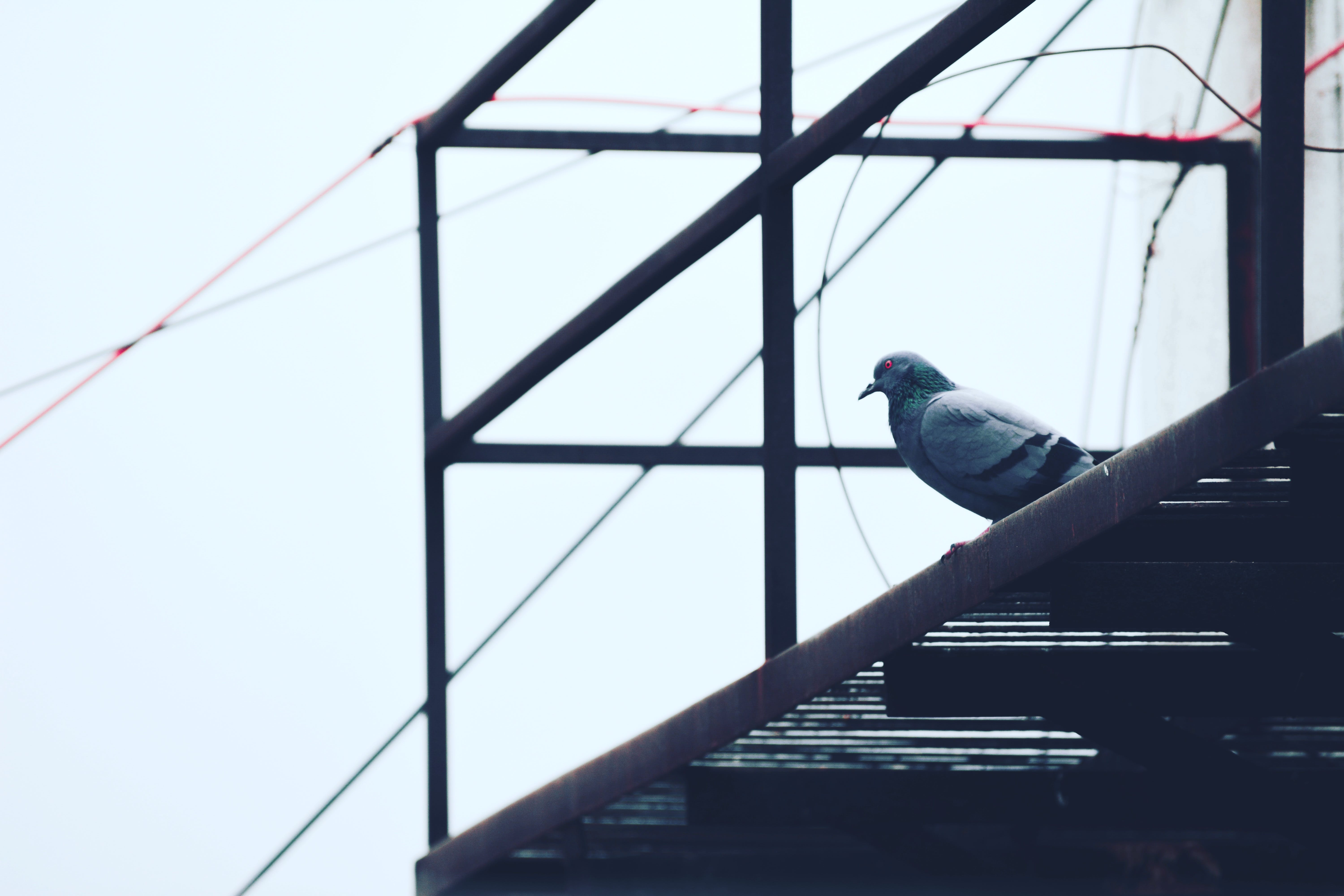 Gray Pigeon on Black Metal Frame
