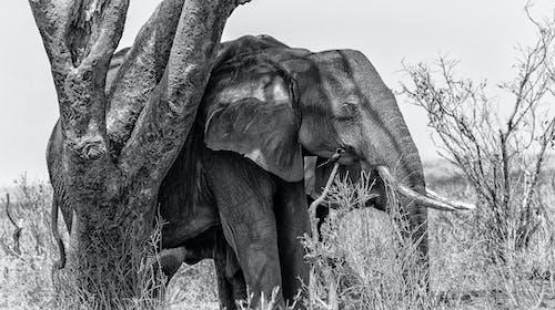 คลังภาพถ่ายฟรี ของ การถ่ายภาพสัตว์, ขาวดำ, งวงช้าง, งาช้าง