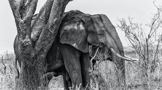 Grayscale Photo of Elephant