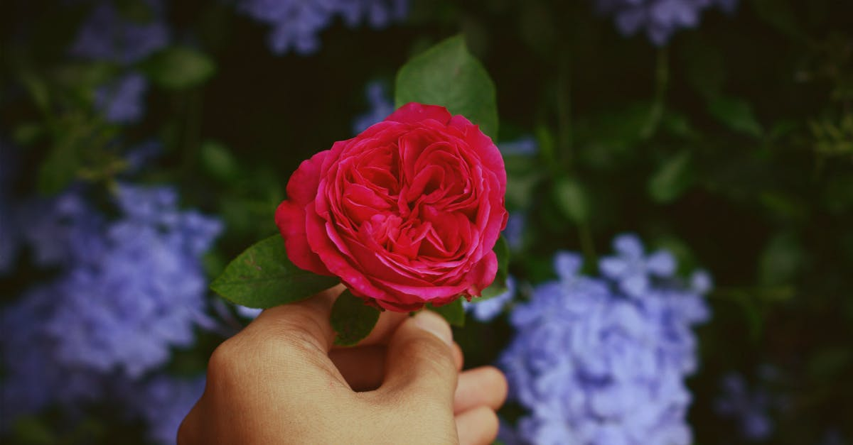 person holding red rose free stock photo