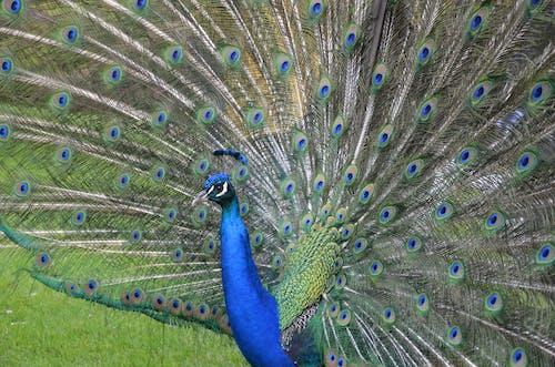 Безкоштовне стокове фото на тему «aves, pavo реальний»