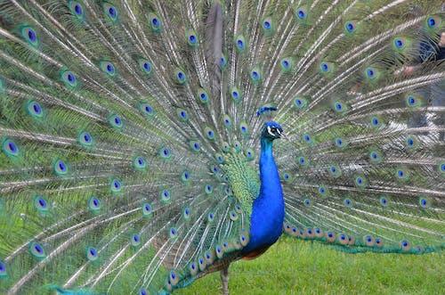 Безкоштовне стокове фото на тему «aves, pavo»