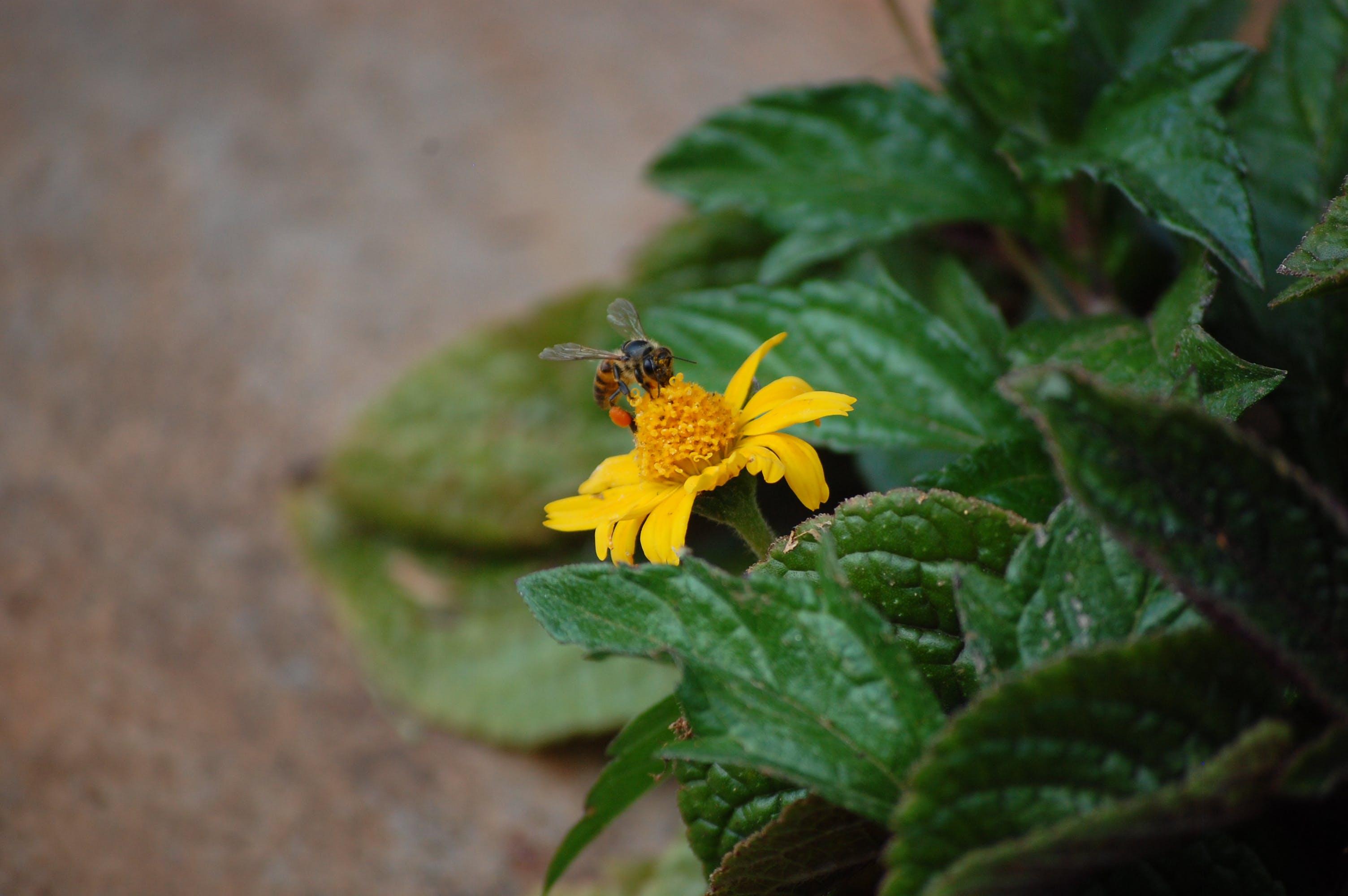 Free stock photo of beautiful flowers, bee, yellow