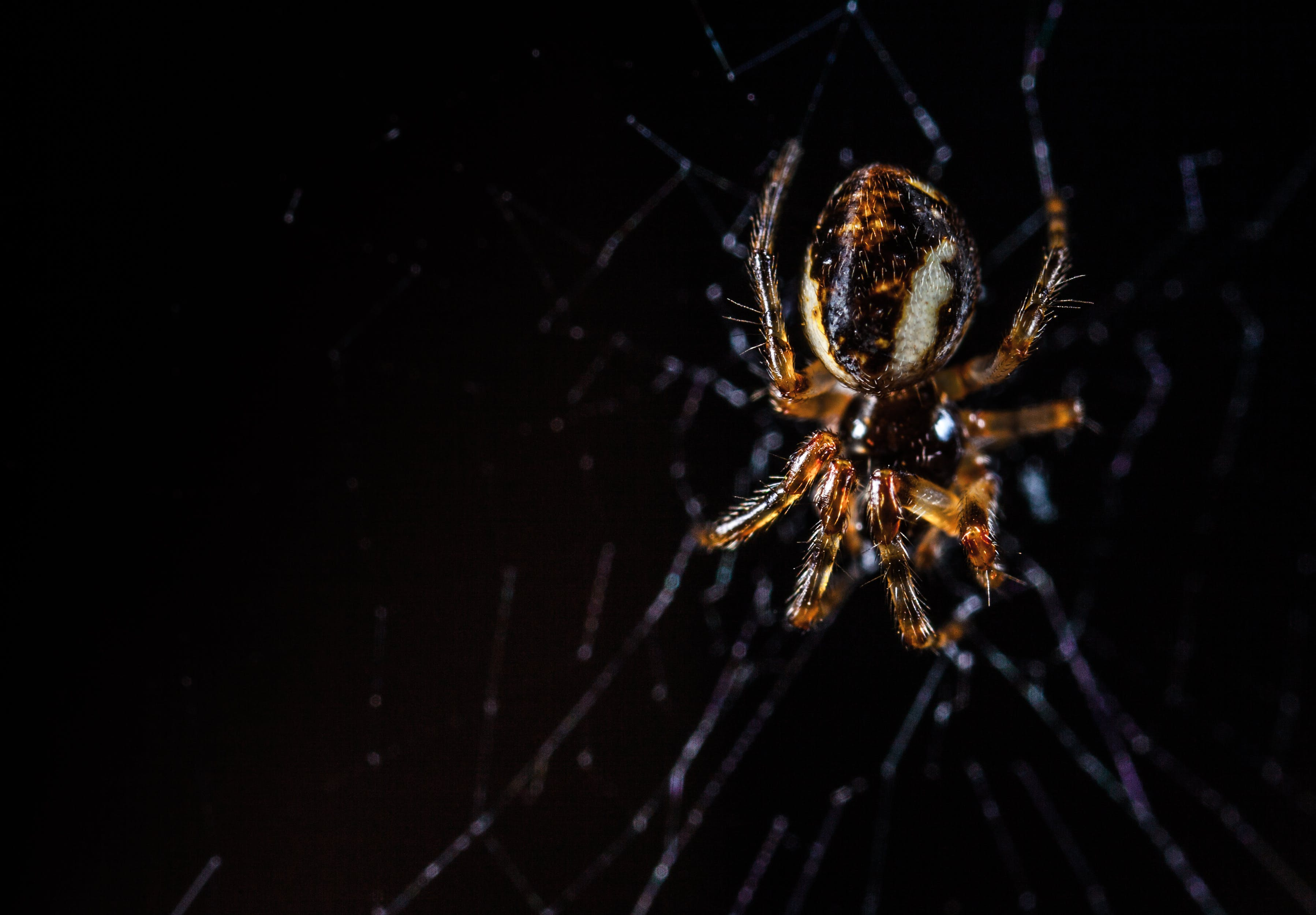 Brown Orb Weaving Spider