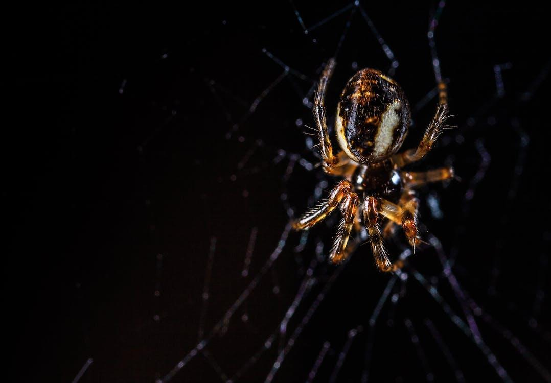 Brown Orb Weaving Spider