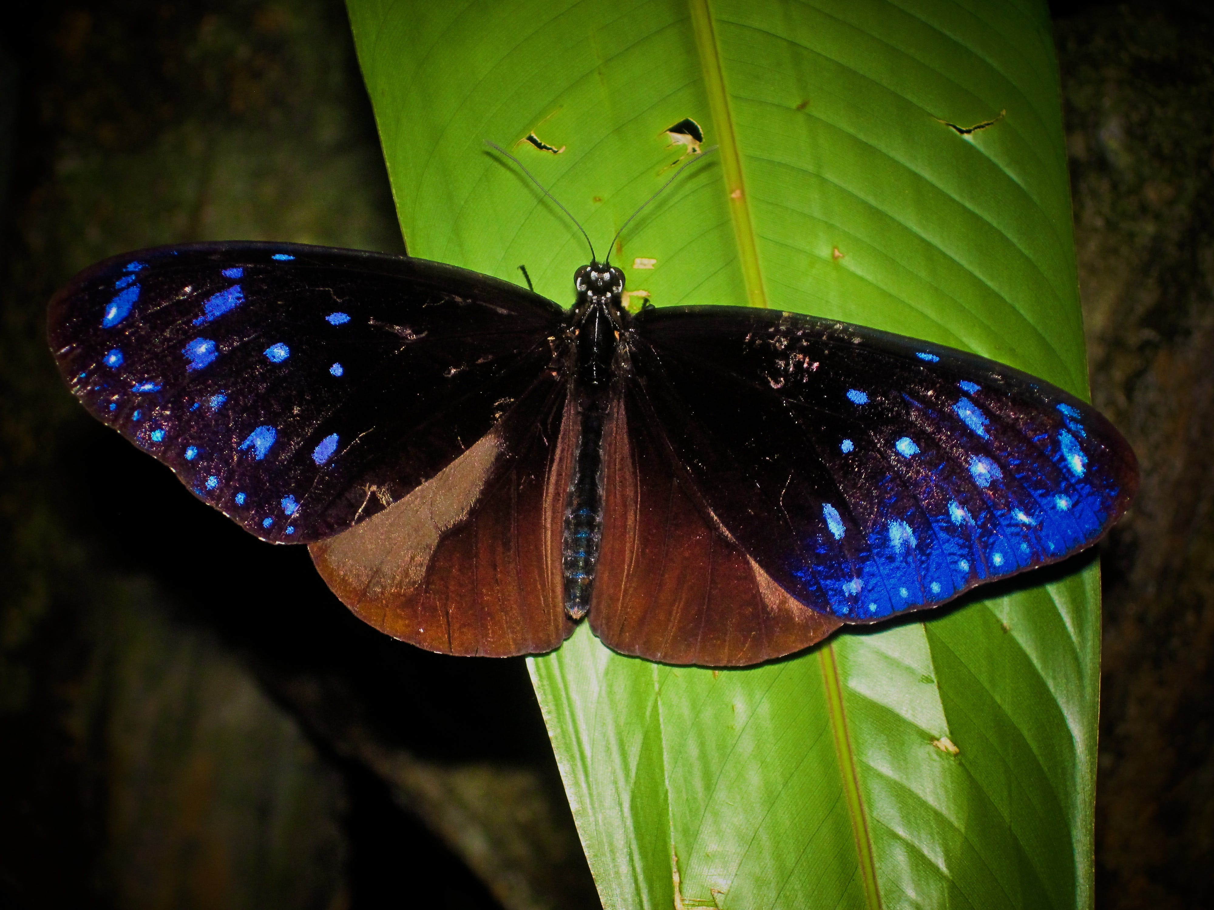 Free stock photo of blue, butterfly