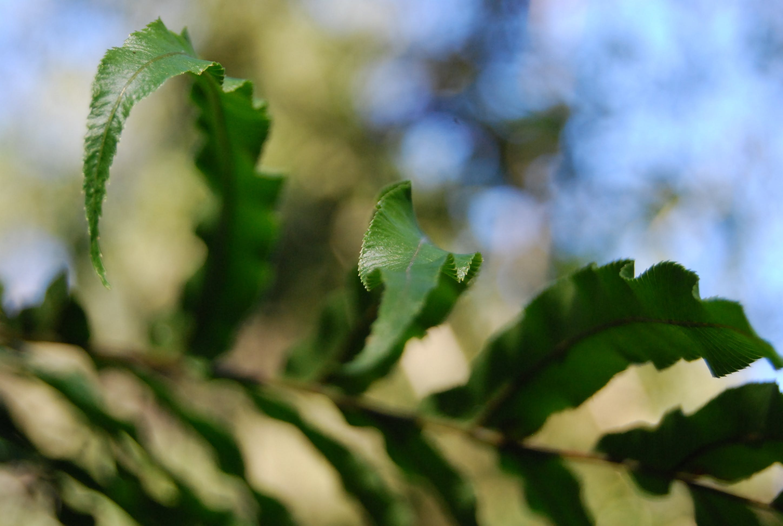 Free stock photo of fern, leaf