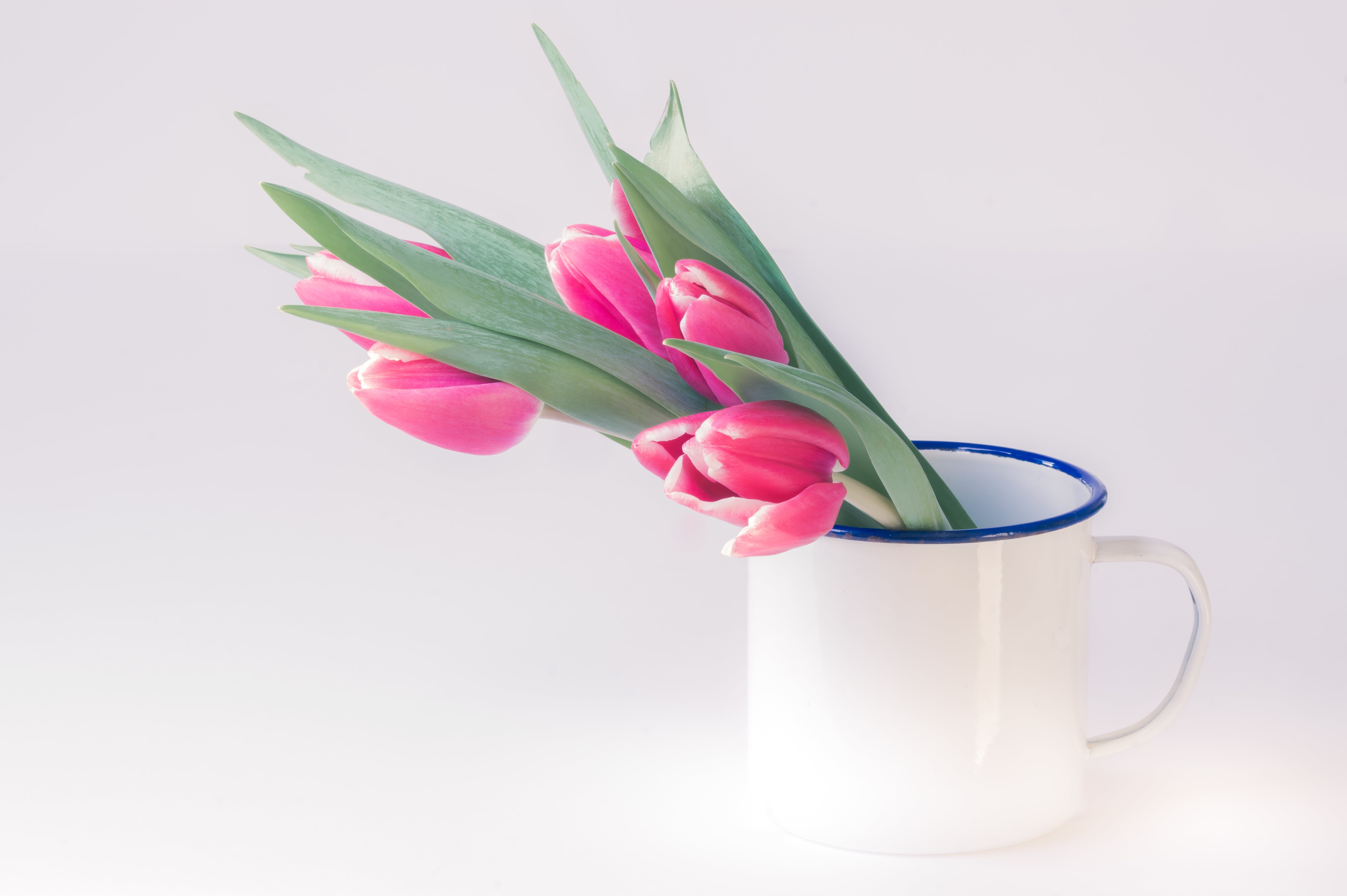 Pink Tulip Flowers in White Cup