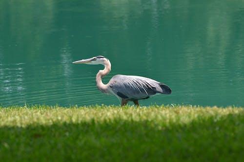 Grey Heron on Green Grass Field