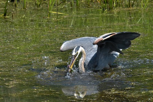 Free stock photo of bird, feeding, great blue heron