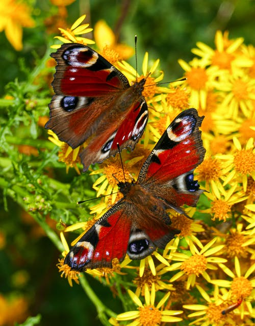 Two Butterflies Perched on Yellow Flowers