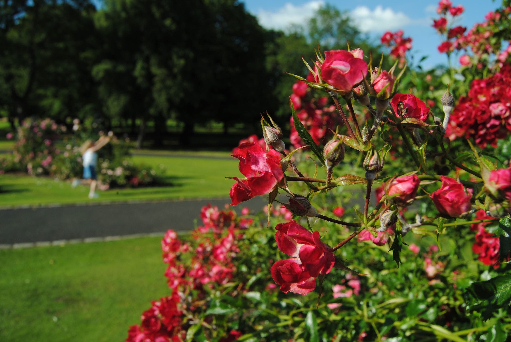 Free stock photo of beautiful flowers, blurred, blurred background, bokeh