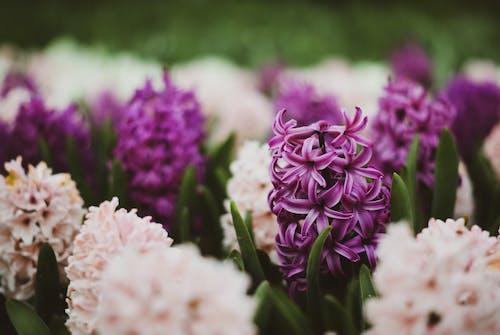 Selective Focus of Blooming Purple Hyacinth Flowers