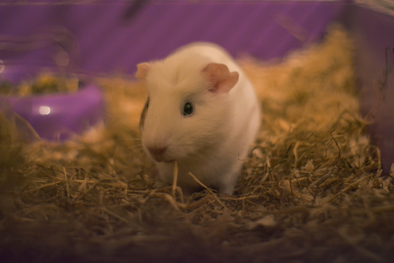 Free stock photo of cute, cute animals, guinea pig, happy