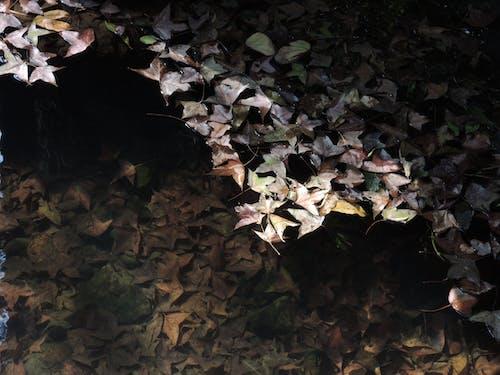 Free stock photo of dry leaf, maple leaf, pond