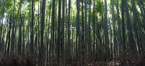 Free stock photo of forest, japan, kyoto
