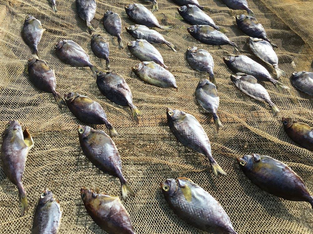 dry fish, fish, fishing net