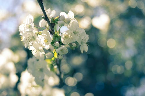 Selective Focus Photography of White Blossoms