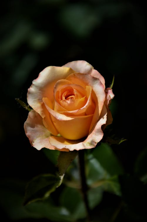 Close-Up Photo of a Delicate Rose