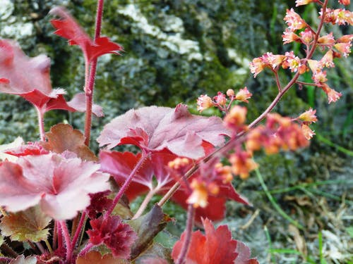 Free stock photo of garden flower, red flower, red leaves
