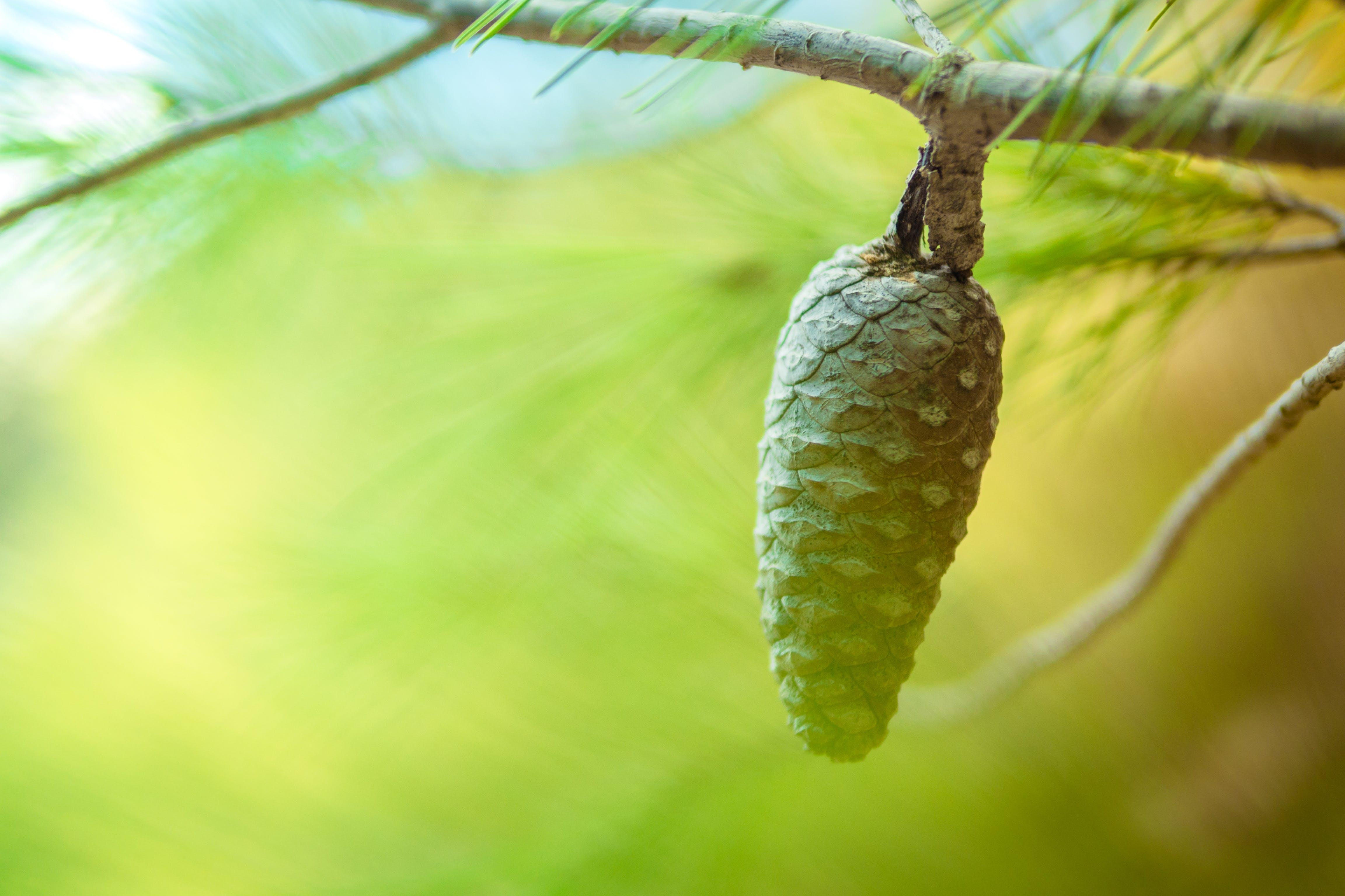 Tilt Shift Photo of Pine Cone