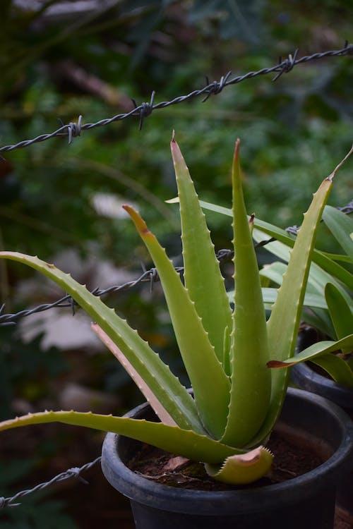 aloe, aloe vera, çiviler içeren Ücretsiz stok fotoğraf