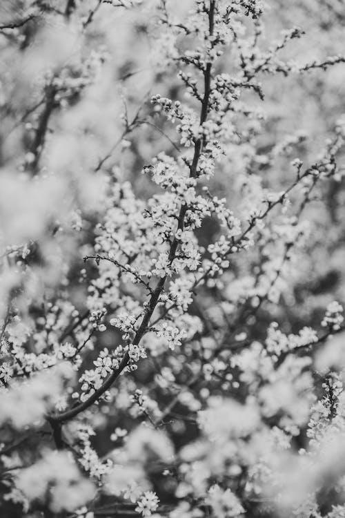 Ingyenes stockfotó ág, cseresznye, évszak témában