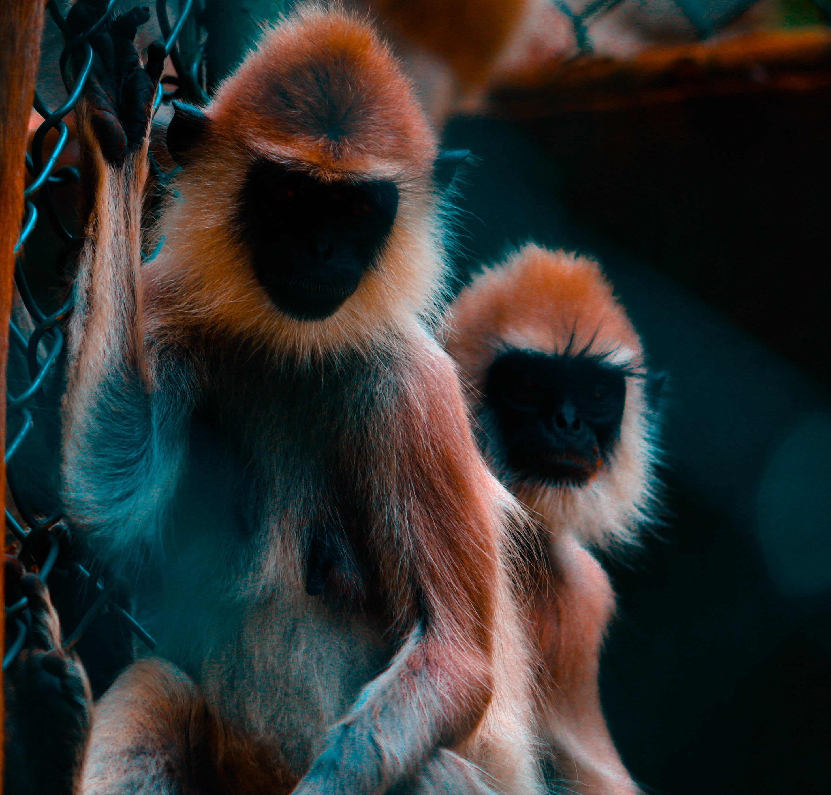 Two Black-and-brown Monkeys Photo