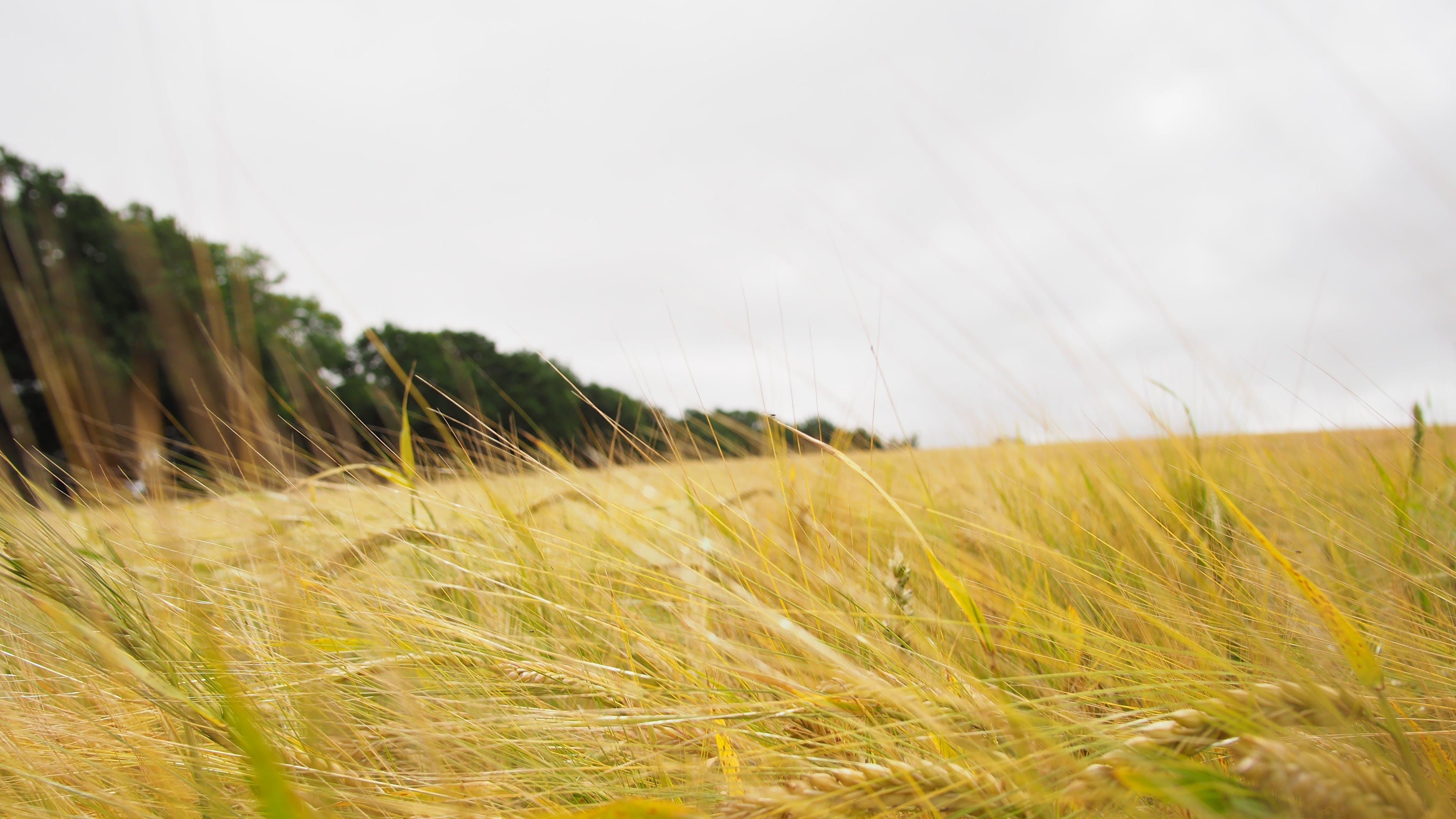 Free stock photo of corn field, field