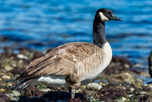 Close Up Shot of a Canada Goose