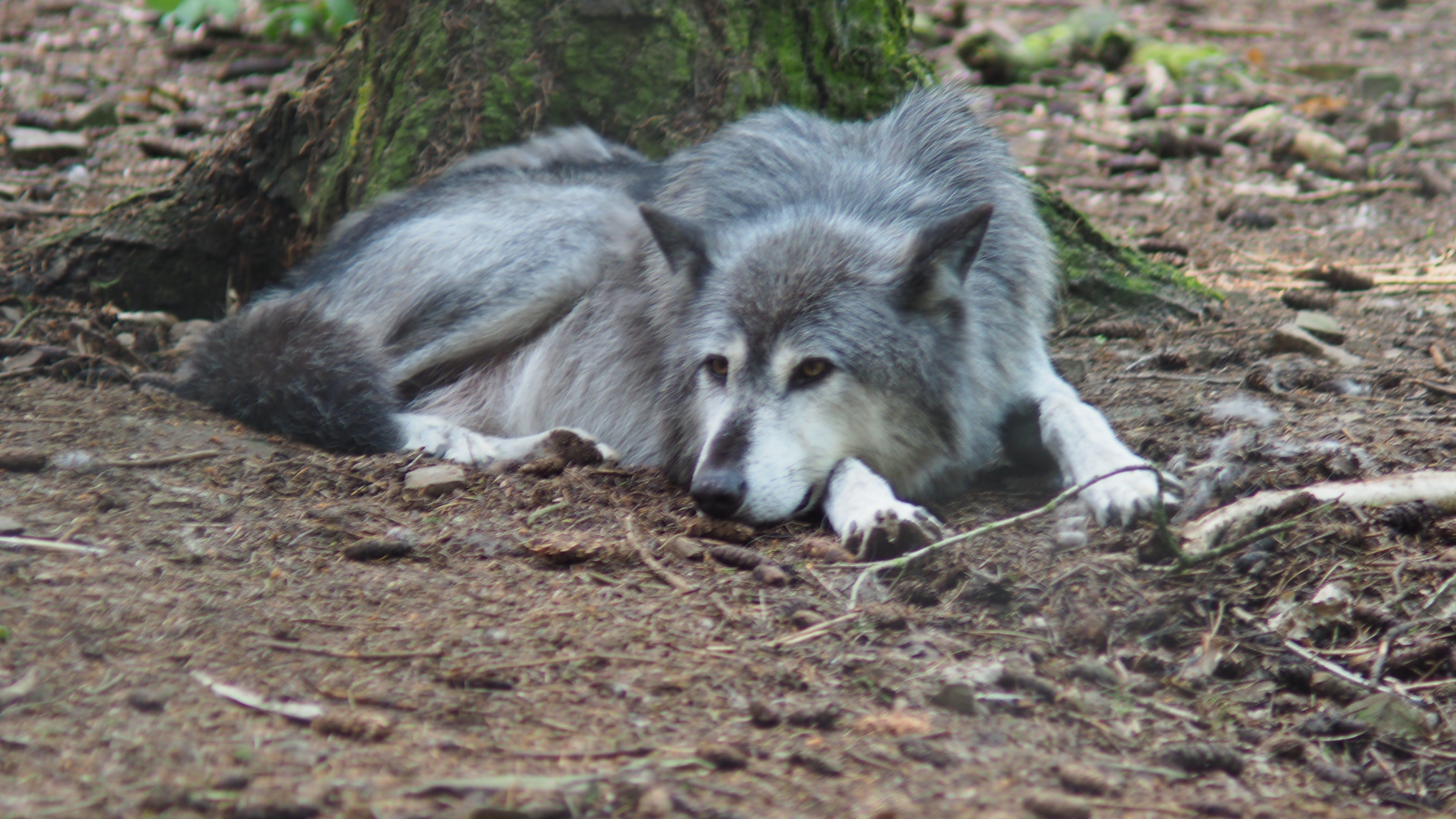 Free stock photo of gray wolf, wolf