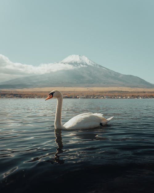 A Swan Swimming on the Lake