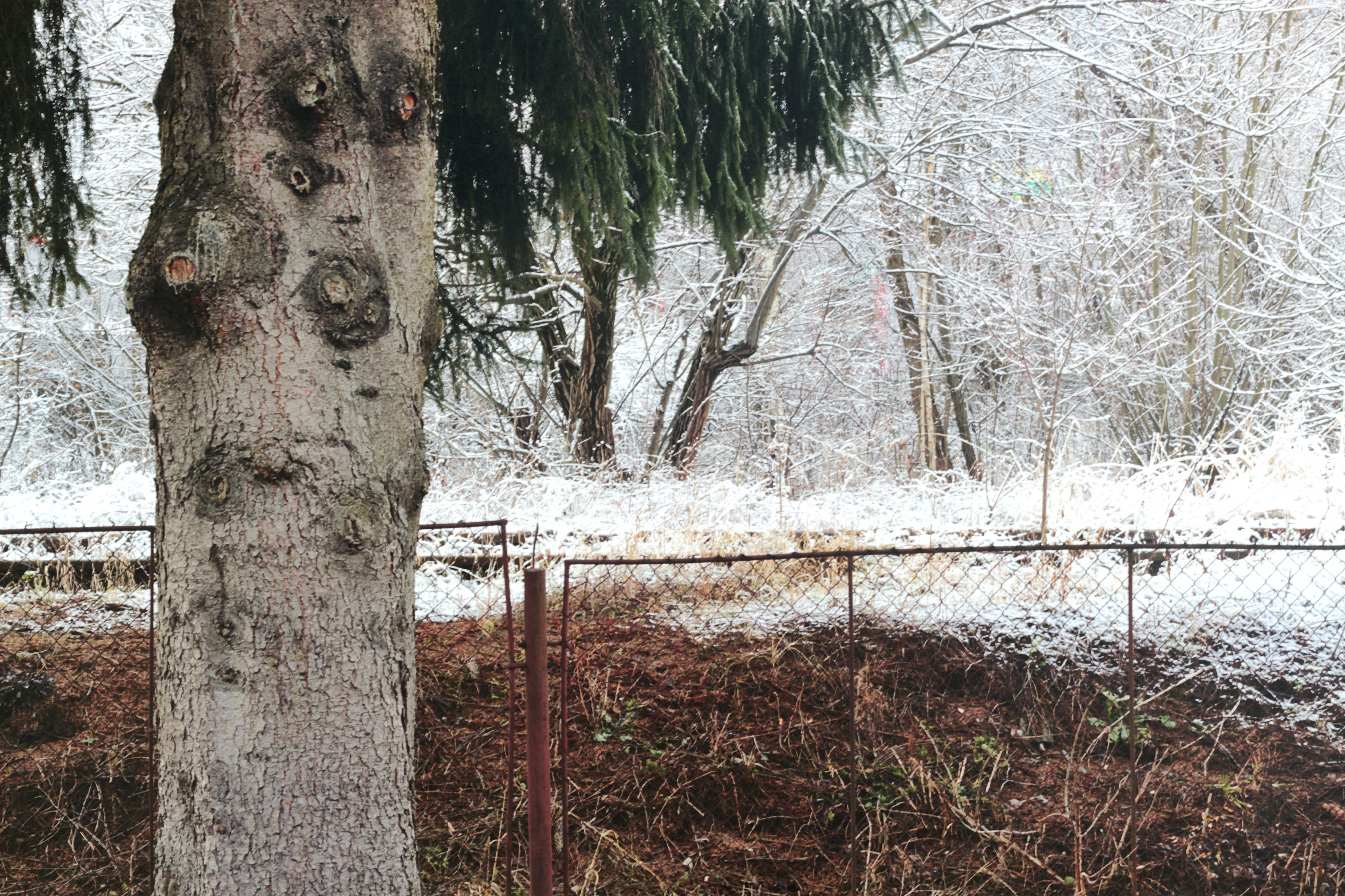Free stock photo of conifer, fence, nature, snow
