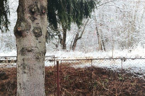 คลังภาพถ่ายฟรี ของ กั้นรั้ว, ต้นสน, ธรรมชาติ, ฤดูหนาว