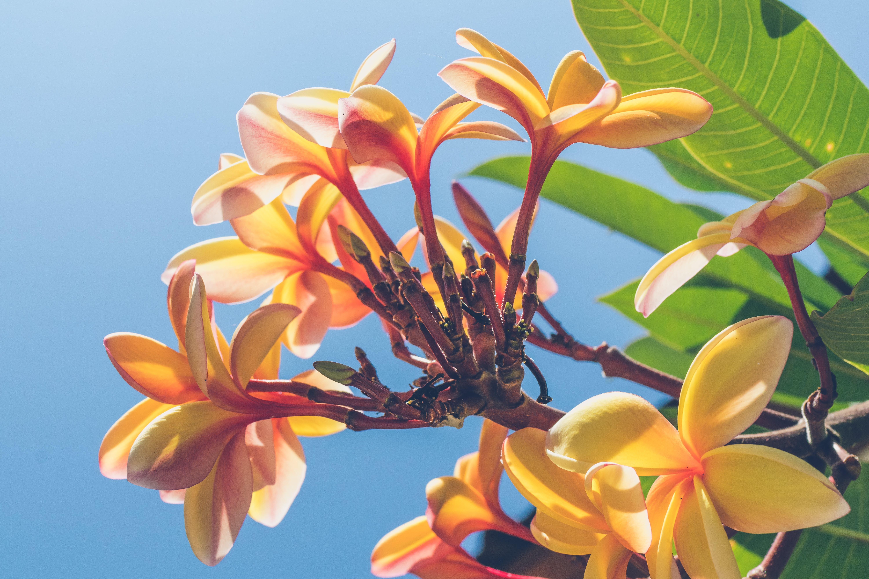 Close Up Photo of Yellow Plumeria Flower