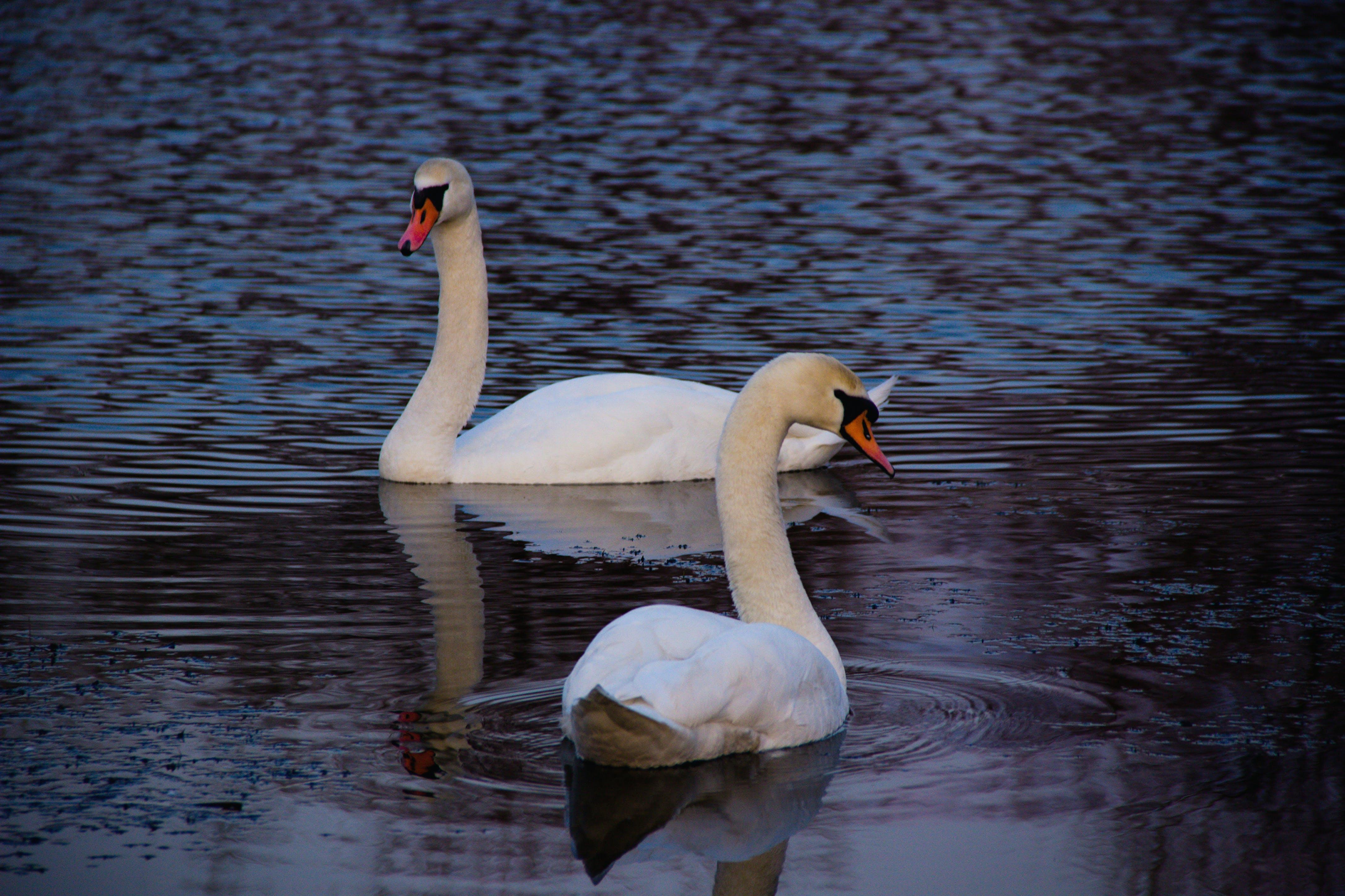 Free stock photo of bird, spring, swans, swan