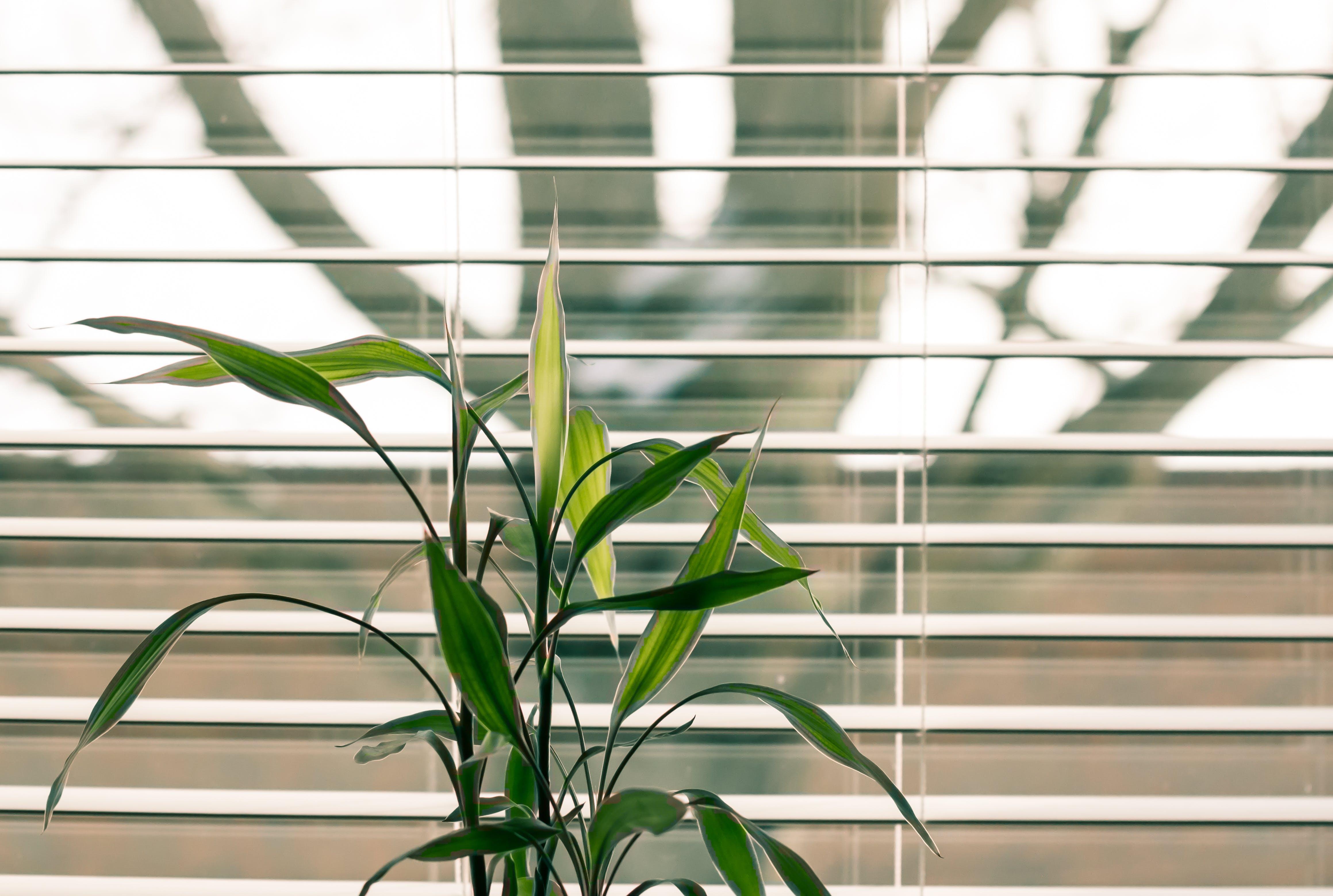 Green Leaf Plant Against White Venetian Window Blinds