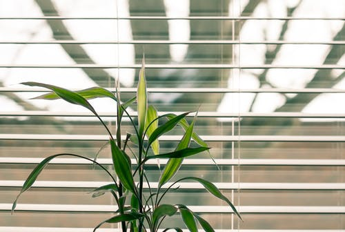 Green Leaf Plant Against White Venetian Window Blinds