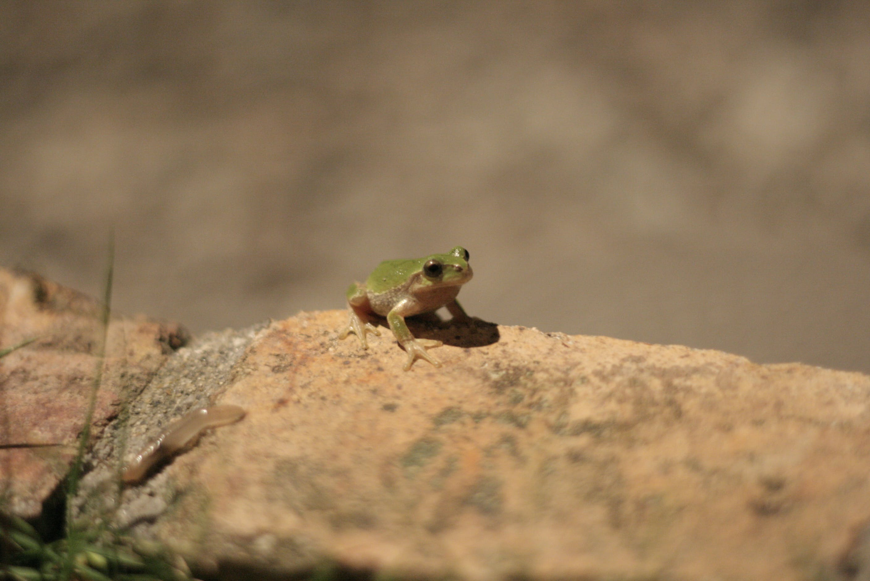 Frog on Brown Stone
