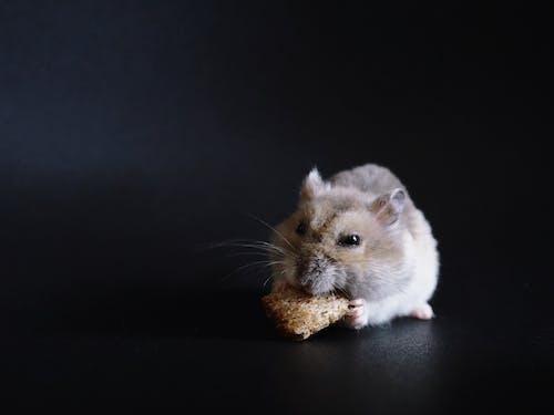 Free stock photo of hamster, profile