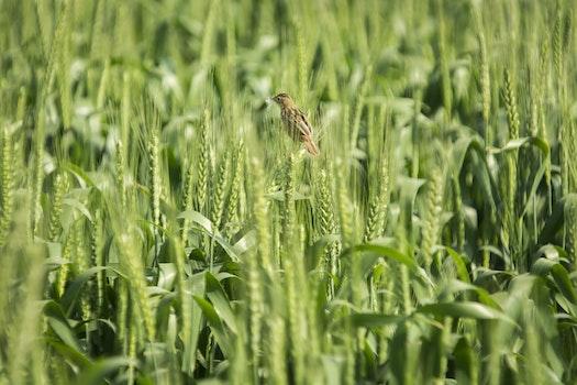 Brown Bird on Green Wheat