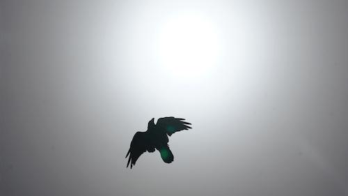 Free stock photo of death, raven