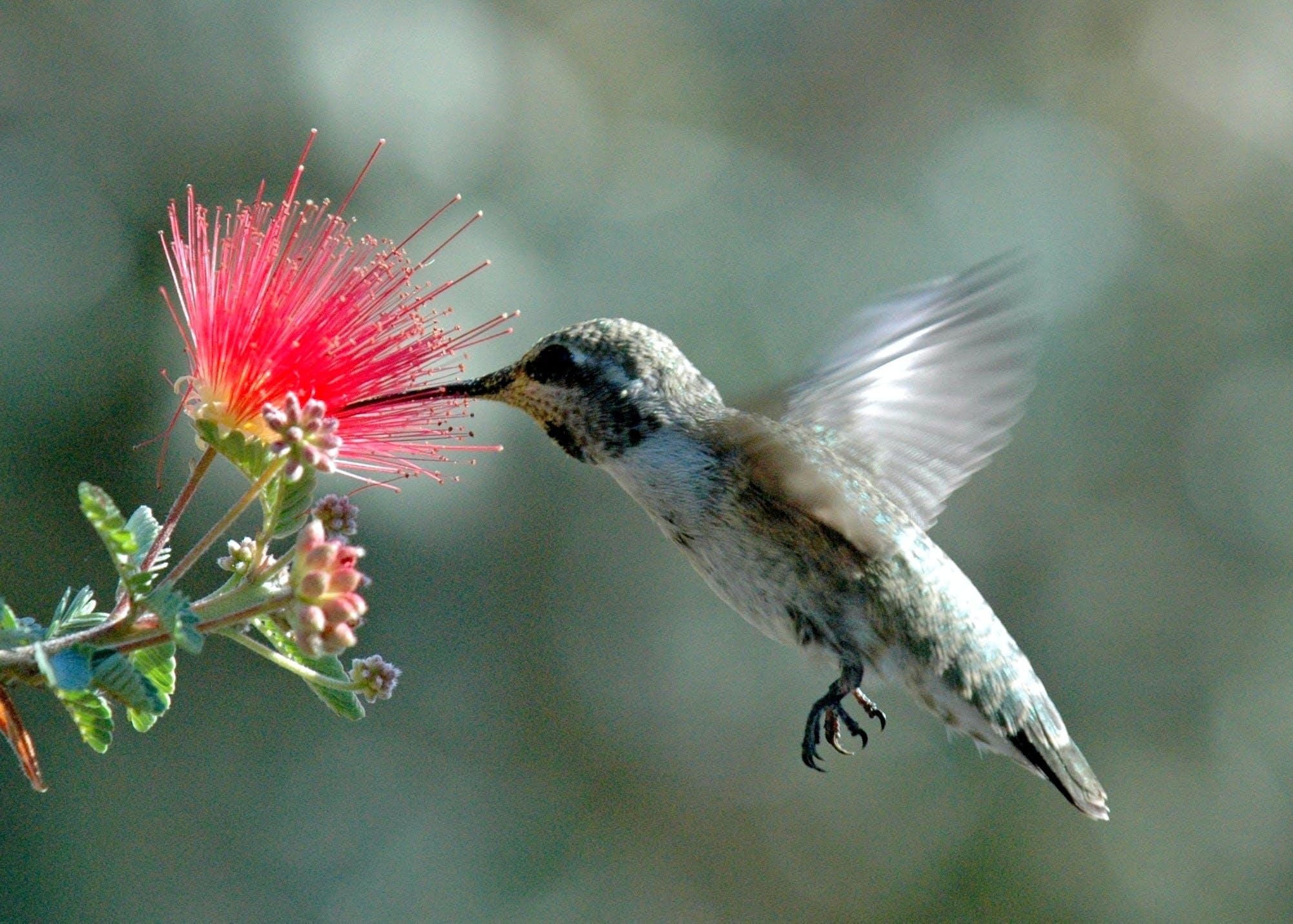 Free stock photo of flower, hummingbird