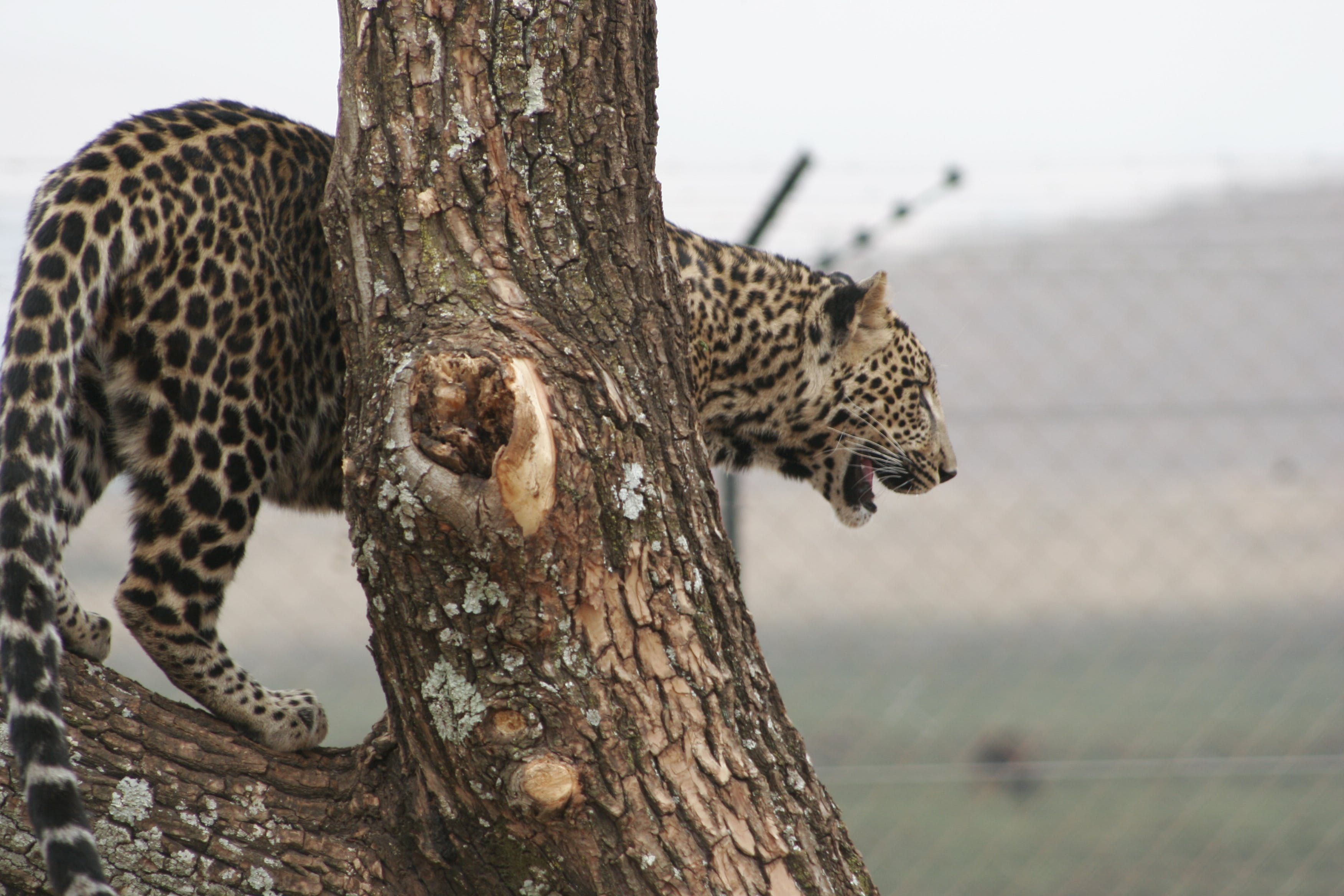 Free stock photo of leopard big five