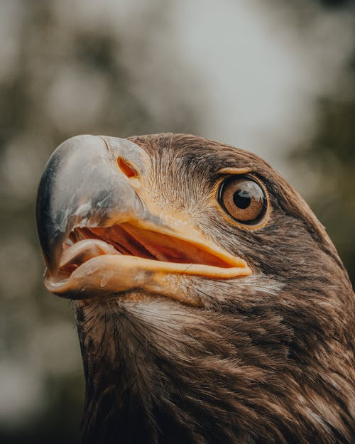 Brown and White Eagle in Close Up Photography