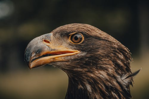 Black and Brown Eagle in Close Up Photography
