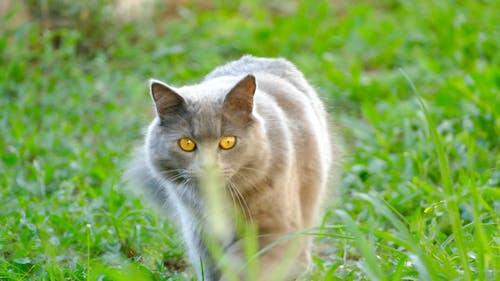 Fotobanka sbezplatnými fotkami na tému chartreux, divý, fotografia prírody, mačacie oči