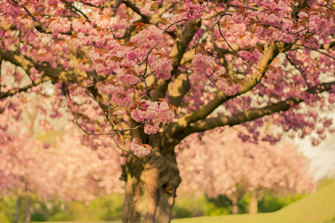 Cherry Blossom Tree in Close-up Photo