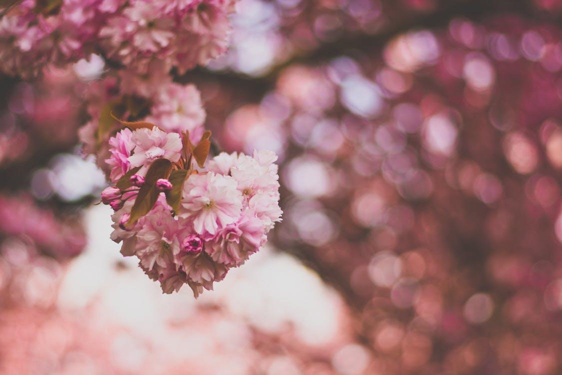 ветвь, вишня, гроздь